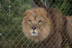 IMG_8221 (whereisjulie?) Tags: rescue tiger lion carolina cougar ocelot serval caracal kinkajou
