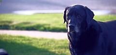 JAZZ, our family watch. (alexanderrmarkovic) Tags: dog pet lab jazz retriever blacklab