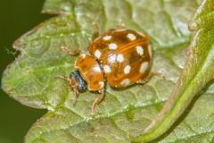 Cream-spot Ladybird- Calvia 14-guttata (linanjohn) Tags: uk macro nature wildlife insects cumbria beetles ladybirds penrith coleoptera coccinellidae calvia14guttata creamspotladybird cowraikquarry