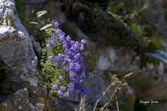 Accroches (Jacques Isner) Tags: fleurs pentax eze pentaxsmc campanules pentaxart pentaxk5 pentaxflickraward