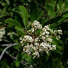 Heteromeles arbutifolia, CHRISTMAS BERRY, TOYON (openspacer) Tags: shrub rosaceae heteromeles toyon jrbp jasperridgebiologicalpreserve
