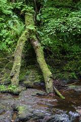 Glenariff Forest Park (ghostwheel_in_shadow) Tags: ireland tree wet water moss flora europe unitedkingdom northernireland moisture damp ulster collapsed antrim moist wetness glenariffforestpark essnacrubwaterfall