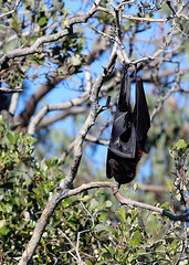 Week 20: Wildlife - Hanging By The Tips Of My Toes (Fiona Dawkins) Tags: wildlife bat flyingfox wynnumcreek week20theme 52weeksthe2016edition week202016 weekstartingfridaymay132016