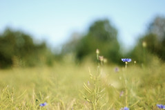 blurry thursday (Frau Koriander) Tags: trees plant green nature field landscape evening blurry dof bokeh outdoor landwirtschaft natur pflanze feld seed agriculture landschaft raps cornflower canola eveninglight kornblume abendsonne rapeseed grser rapsfeld kornblumen nikond300s