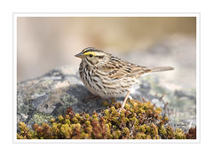 Savannah Sparrow - First of Many (Tomcod) Tags: field newfoundland bill tail wing beak feathers sparrow tundra avalon avian capespear