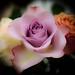 Anniversary roses 5