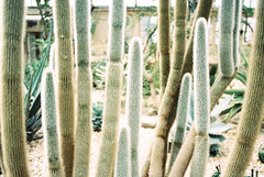 Cactus (anthonyfrankpeter) Tags: portra160nc nikon fm3a garfield park conservatory cactus cacti 28mm chicago illinois