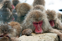Japanese Macaque, Jigokudani Snow Monkey Park, Japan (rmk2112rmk) Tags: japan jigokudani macaque snowmonkey japanesemacaque jigokudanisnowmonkeypark