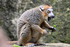 lemur (angharad.barrett) Tags: happy eating lemur shocked