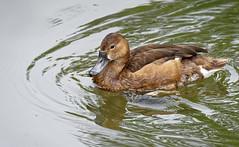 DSC08616_DxO (Franck Zumella) Tags: reflection bird water rouge duck eau teal bec reflexion oiseau canard brun mottled redbilled