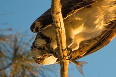 Eagle eating a fish (Marcos Lozadam63) Tags: usa nature feeding florida miami osprey comiendo pescando guila pescadora