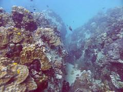 Koh Tao (Scuba Diving), Thailand (Jan-2016) 14-075 (MistyTree Adventures) Tags: ocean sea fish water coral thailand twins marine asia seasia underwater outdoor diving scubadiving kohtao gulfofthailand panasoniclumix