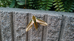 Theretra nessus (Shiori Hosomi) Tags: june japan tokyo moth insects  lepidoptera sphingidae  2016    theretra     23   entomon