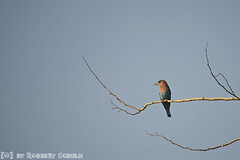 Indian Roller (Robbert met dubbel B) Tags: park india nature wildlife indian reserve safari national roller april 29 29th 2016 indische tigerreserve nationaal tadoba andhari scharrelaar
