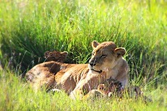 Lioness and Cubs Serengeti Tanzania Africa (DianaTeeDub) Tags: africa animals tanzania lion safari lions cubs lioness lioncub snuggly mamalion