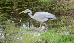 Reiger juni 2016 (megegj)) Tags: bird vogel gert