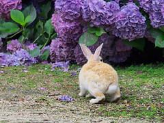 B6250571 (VANILLASKY0607) Tags: rabbit bunny bunnies nature animal japan photo wildlife wildanimal hydrangea rabbits rabbitisland wildrabbit okunoshima