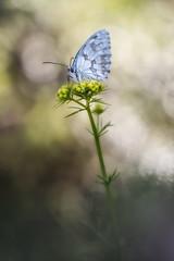 vigilancia (too15) Tags: light naturaleza macro primavera spring spain nikon bokeh butterflies galicia tamron mariposas ourense valdeorras melanargia
