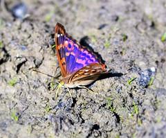In the land of the warrior (only_sepp) Tags: macro primavera nature butterfly torino colore estate bokeh natura volo erba sole animale farfalla insetto prati allaperto pellerina d5300 allnaturesparadise