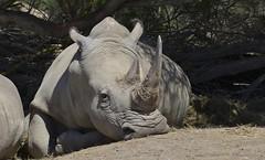 Rhinocros blanc (Michel Seguret Thanks all for 8.400 000 views) Tags: park wild france animal animals nikon reserve pro animaux aude parc rhinoceros tier d800 afrique rinoceronte sauvage africaine rhinozeros sigean michelseguret
