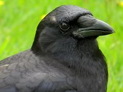 I'm looking Now! (Stirrett6) Tags: bird crow northwestern corvid jerichobeachpark