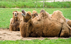 Saundersfoot-2 (James Heather) Tags: summer wales camels saundersfoot annaswelshzoo