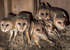 Barn Owlets (Fotos by M) Tags: illinois nikon owls oldbarn barnowls jacksoncounty miguelacosta owlets nikkor70200mm nikond500 manfrotto055xprob thinktankstreetwalkerpro fotosbymi siruil20s