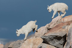 Follow Me (Robin-Wilson) Tags: mountaingoats baby mtevans colorado oreamnosamericanus rockymountaingoat rockymountains climb jump frolic sleep surefooted 14271foot4350m nikond800 nikon600mmf4 cold windy bravo gnagng saariysqualitypictures