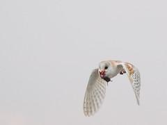 Funny Looking Barn Owl (bredma) Tags: uk wild bird nature wildlife flight naturallight olympus owl british barnowl bif birdinflight em1 mc14 4015028