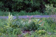 """Hi, I'm Having My Dinner...What Are You Having (+David+) Tags: deer growth mulen songbirdpond"