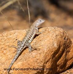 Greater Earless Lizard (FocusedOnNature.com) Tags: greaterearlesslizard catalinaaz