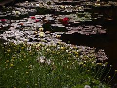 P6303711 (louisecrouch) Tags: reflection nature garden outdoors pond lilies lilypads lilypond summerflowers pondplants summergarden countrygarden waterliles lilyflowers
