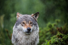 Wolf on a rainy day (nemi1968) Tags: canon canon5dmarkiii ef100400mmf4556lisiiusm june langedrag markiii scandinaviangraywolf closeup ears eyes nose portrait rain raindrops summer wolf wolves specanimal ngc npc