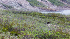 Caribou in the willows-8956 (Mathieu Dumond) Tags: summer canada nature animal june river wildlife bull arctic willow vegetation caribou ungulate nunavut bluenose coppermine kugluktuk mathieudumond umingmakproductions