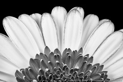 Gerbera Rising (3scapePhotos) Tags: 3scapephotos barbertondaisy diningroom gerber abstract bw beautiful beauty bedroom blackandwhite bloom blossom botanical botany bouquet bud closeup contemporary daisies daisy den familyroom flora floral flower flowers garden gerbera horticulture interiordesign kitchen livingroom macro modern monochrome natural nature office pattern petal petals plant plants seasonal simple stilllife study symmetrical symmetry texture wallart