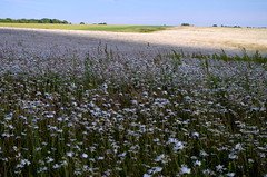 Daisies to the horizon. (pstone646) Tags: plants white nature beauty daisies spectacular landscape kent flora view meadow fields wildflowers oxeyes