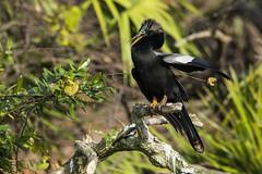Anhinga (Bill Richmond) Tags: holiday male florida anhinga anhingaanhinga snakebird anhingidae waterturkey nikond810