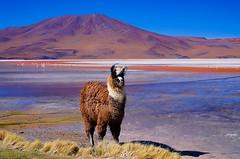 Llama in front of a mountain (bpsnaps) Tags: llama mountain lake flamingos algae