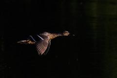 _F0A2882.jpg (Kico Lopez) Tags: birds rio spain aves galicia lugo mio anasplatyrhynchos anadeazulon