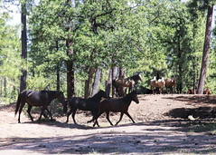 I58C0116-3-blacks (Wild Arizona Photography) Tags: wildhorses forest stallion nature