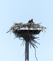 Osprey Mom on Nest (Wandering Cameraman Photography) Tags: vermont wildlife d750 osprey birdofprey weybridge nesting 400mm addisoncounty