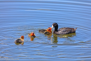 American coot with chicks (#explore)