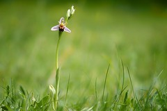 Bee Orchid....... (klythawk) Tags: nottingham red brown flower green nature grass yellow spring dof olympus panasonic lilac omd wilford ophrysapifera beeorchid em1 wildlifetrust 100300mm sssi klythawk claypitnaturereserve