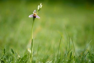 Bee Orchid.......