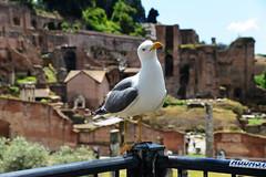 Wobble (Smith-Bob) Tags: italy italia europe rome roma street candid roman romanempire empire forum bird gull seagul pose question slip awkward wobble