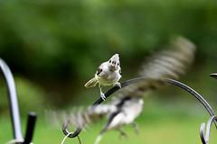 Tufted Titmouse (East Norriton) (stinkenroboter) Tags: eastnorriton bird tuftedtitmouse baeolophusbicolor
