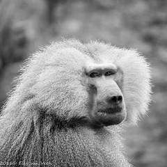 Dierenpark amersfoort-5389 (ellyvveen) Tags: nederland gelderland landen dierenparkamersfoort mantelbaviaan dierentuindieren