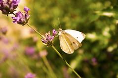 Afternoon drink (Petr Horak) Tags: flower macro closeup insect blossom czechrepublic buterfly blooming x100 cze jihomoravskkraj brankovice