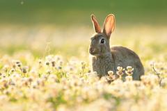 Wildkaninchen (bobby3101985) Tags: wild rabbit wildlife natur wiese sonne lffel hase abendsonne sonnenlicht naturaufnahme wildkaninchen kleewiese
