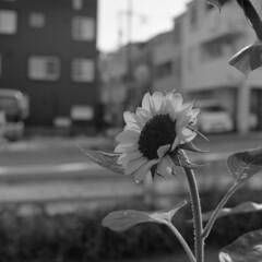 160703_ZenzaBronicaS2_008 (Matsui Hiroyuki) Tags: zenzabronicas2 nikonnikkorp75mmf28 fujifilmneopan100acros epsongtx8203200dpi
